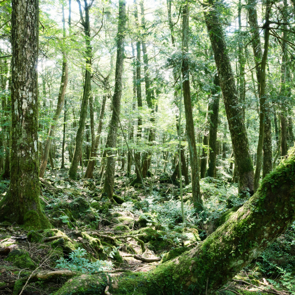 Wild forest by Mount Fuji in Japan (Suicide Forest - Aokigahara_